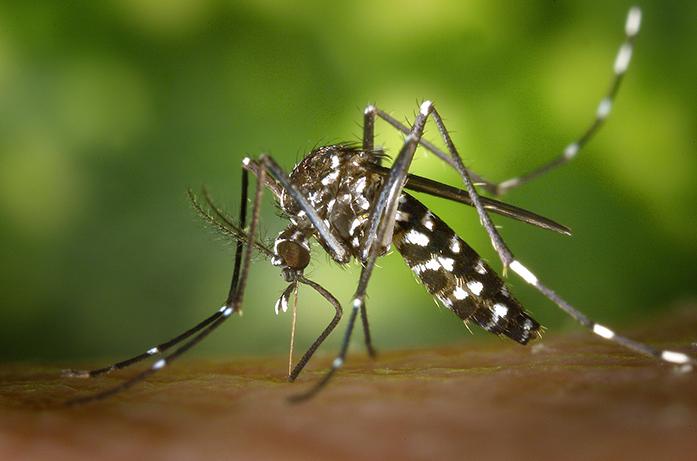 Aparece un mosquito tigre. Ahora con la inteligencia artificial se pueden prevenir enfermedades de los mosquitos